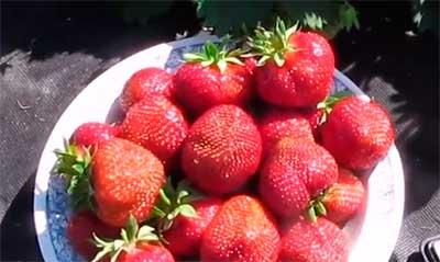 Клубника-Полка-ягоды-фото