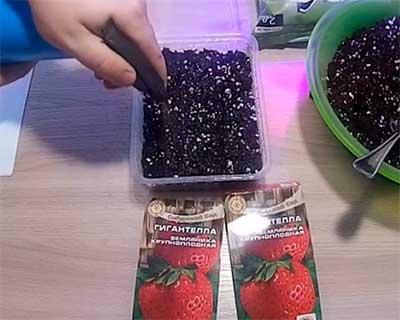 Клубника-гигантелла-посадка-семенами-фото