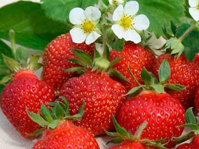 Korona-фото-ягод