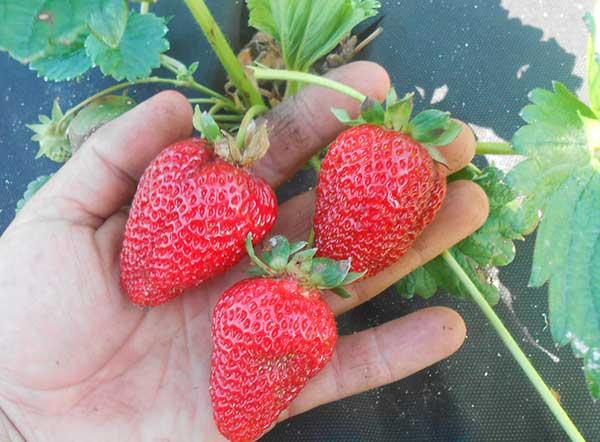 Крупные-ягодки-клубники-альбион-фото