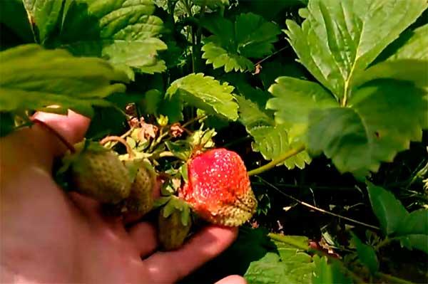 Царица-ягода-клубники-фото