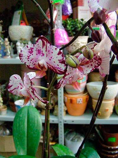 Уход-за-орхидеей-фаленопсис-после-покупки-фото