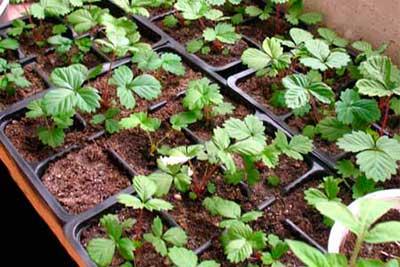 Земляника-али-баба-семенами-фото