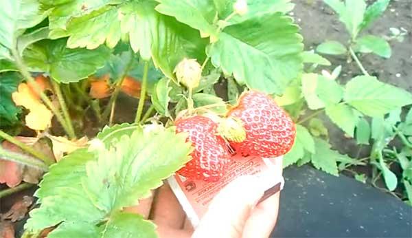 Земляника-садовая-Елизавета-2-фото
