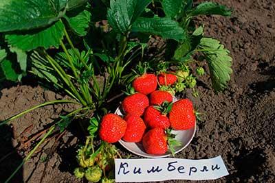 Урожай клубники Кимберли-фото
