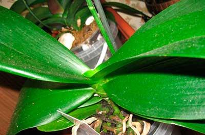 листья-орхидеи-фаленопсис-фото