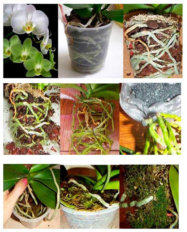 peresadka-orhidey-felanopsis-foto