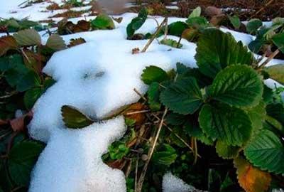 Подготовка клубники к зиме фото