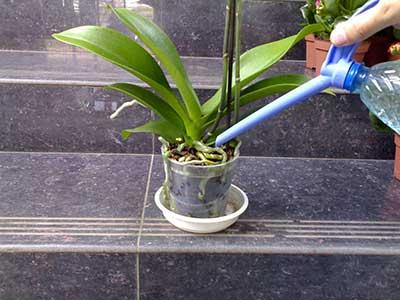 полив-орхидеи-фаленопсис-фото