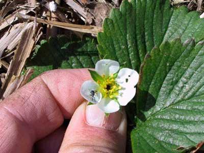 пораженный-долгоносиком-цветок-фото