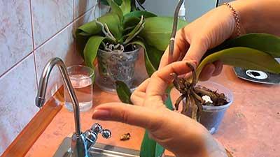 реанимация-орхидей-фото