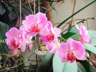 цветение-орхидеи-фаленопсис-фото