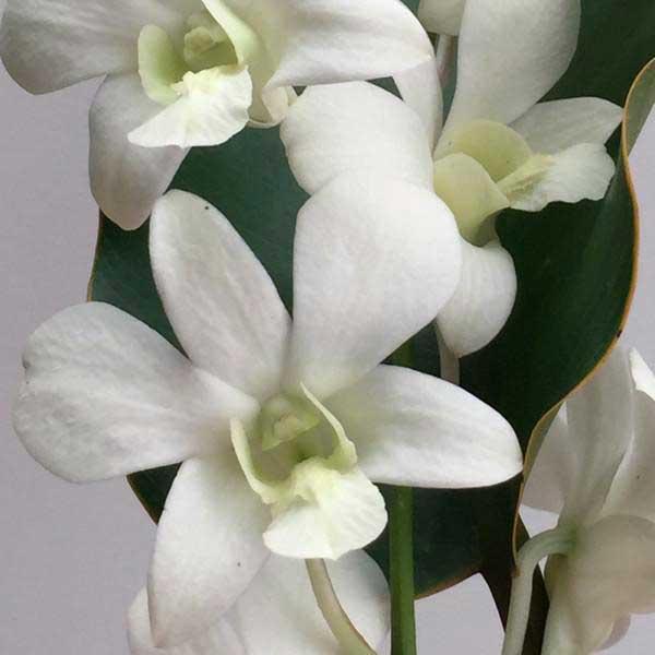 Bon-White-дендробиум-фото