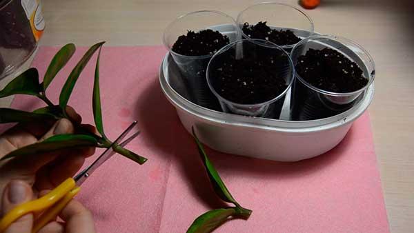 Черенки-замиокулькаса-фото