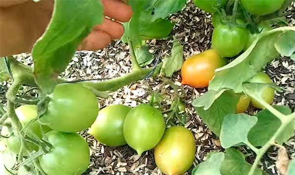 """Помидоры """"Де Барао"""" - сорт томатов, который не подведет"""