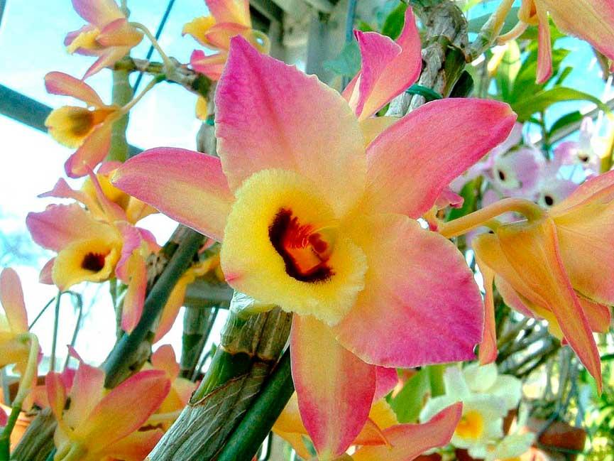 Орхидея Дендробиум - уход, размножение и пересадка в домашних