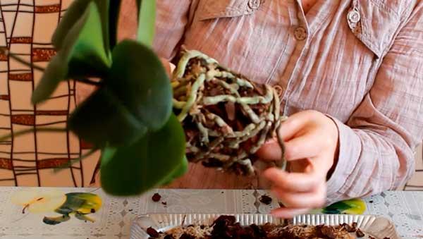 Освобождаем-корни-орхидеи-от-старого-субстата-фото