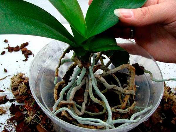 Пересадка орхидеи Фаленопсис в домашних условиях: пошаговая инструкция