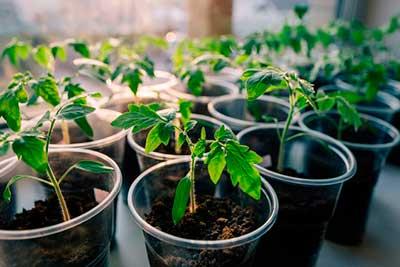 Размножение-помидор-фото