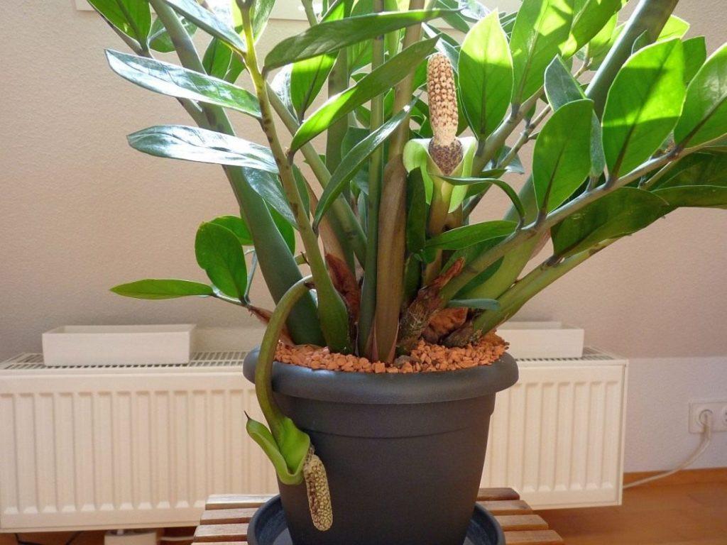 Размножение долларовое дерево уход в домашних условиях 88