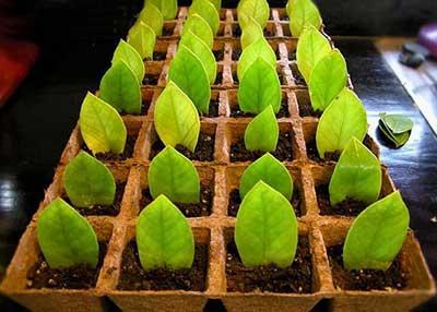 Размножение-замиокулькаса-небольшими-листочками-фото