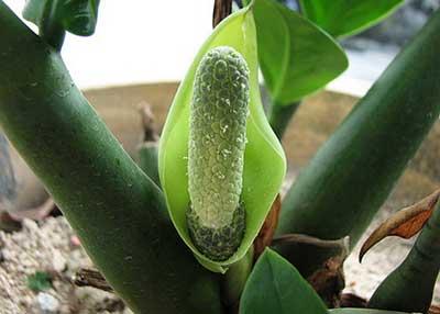 Цветение-замиокулькаса-фото