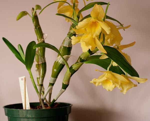 Все  о выращивании орхидеи дендробиум в домашних условиях