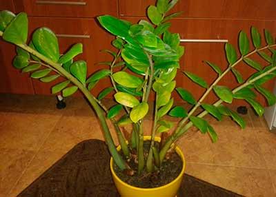 Желтеют-листья-у-замиокулькаса-фото