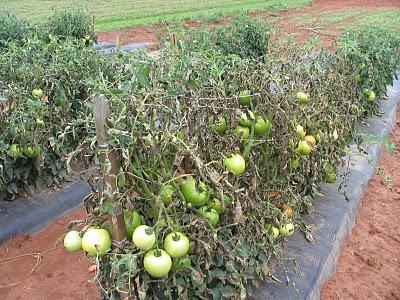 фитофтороз на кустах помидор-фото