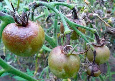 фитофтороз-томатов-фото
