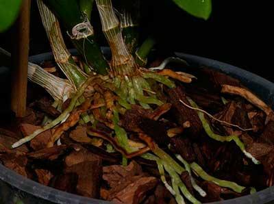 грунт-для-орхидеи-дендробиум-фото