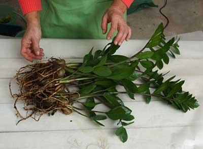 как-рассадить-замиокулькас-фото
