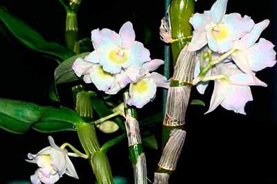 как-выбрать-место-для-орхидеи-дендробиум-фото