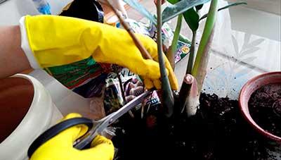 обрезка-замиокулькаса-фото