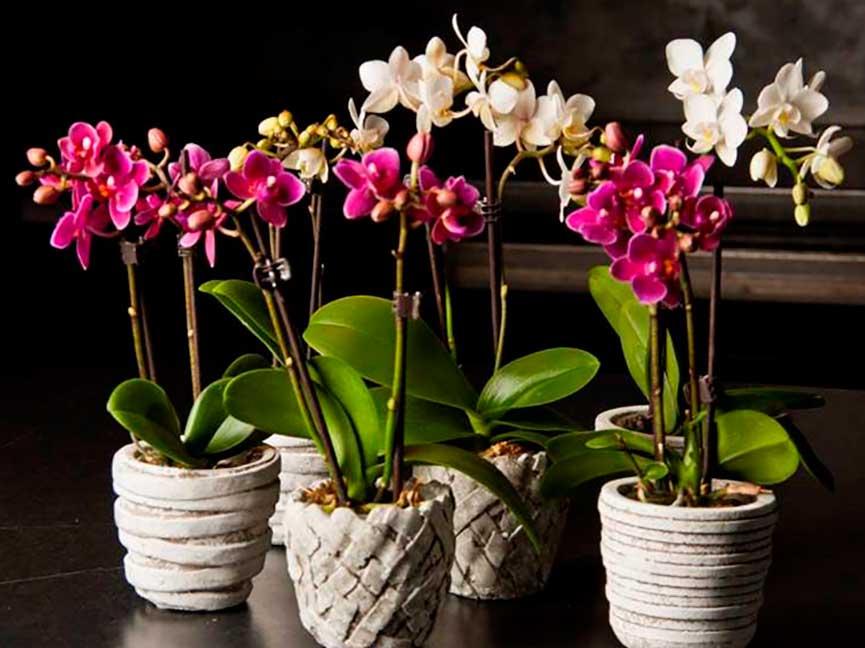 Пересадка орхидея фаленопсис уход в домашних условиях фото