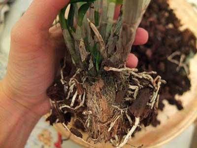 пересадка-орхидеи-дендробиум-фото