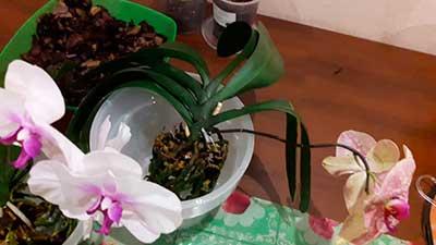 пересадка-цветущей-орхидеи-фото