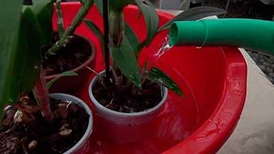 полив-орхидеи-дендробиум-фото