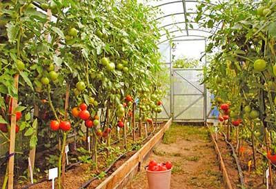 томаты-в-теплице-фото