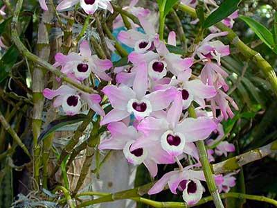 цветение-орхидеи-дендробиум-фото