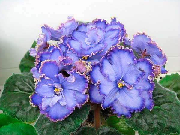 Фиалка-голубой-дракон-цветочки-фото