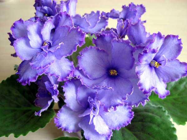Как-цветет-фиалка-голубой-дракон-фото