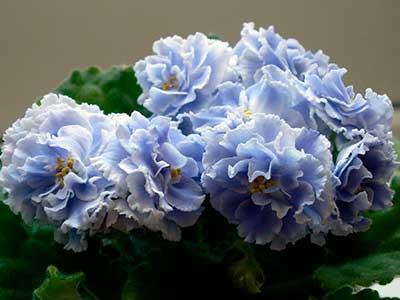 Как-цветет-фиалка-голубой-туман-фото