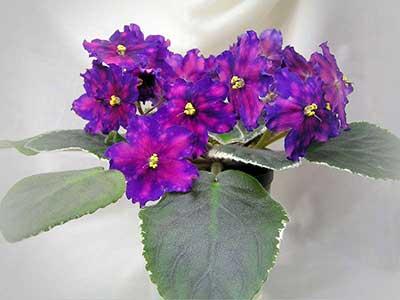Как-цветет-фиалка-южная-ночь-фото