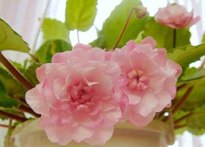 Как-цветет-литуаника-фото