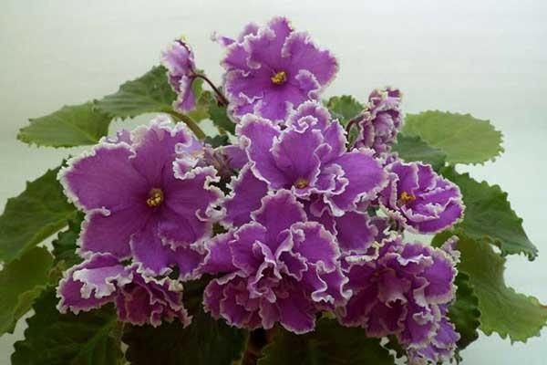 Как-цветет-сорт-ле-эсмеральда-фото