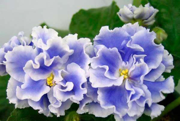 Как-выглядят-цветы-фиалки-голубой-туман-фото