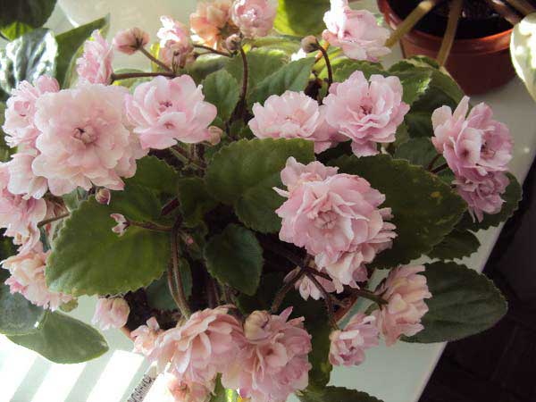 Красиво-цветет-трейлер-литуаника-фото