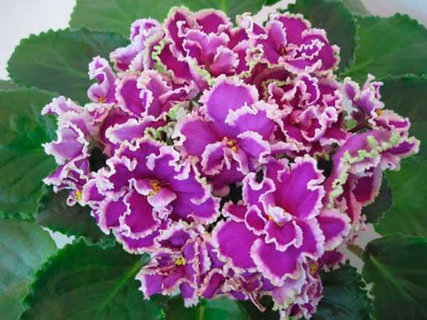 Красивое-цветение-фиалки-эсмеральды-ЛЕ-фото