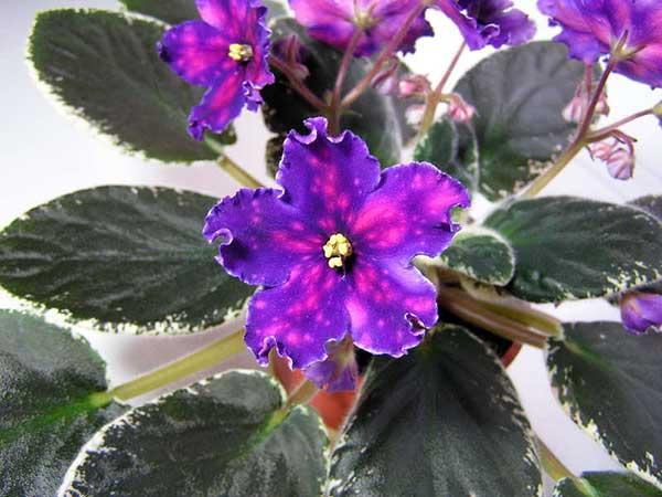 Красивый-цветок-сенполии-южная-ночь-фото